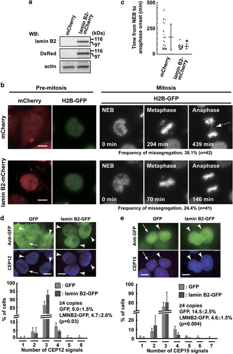 Ectopic expression of lamin B2 in CIN cancer cells prevents mitotic defects. ( a – c ) WiDr cells stably expressing histone H2B-GFP were transfected with lamin B2-mCherry or mCherry (control) expression plasmid, and expression of lamin B2-mCherry ( M r , 96 kDa) was examined by western blotting with anti-lamin B2 and anti-DsRed antibodies ( a ). Anti-DsRed antibody can detect mCherry. Living cells expressing lamin B2-mCherry or mCherry were monitored by confocal microscopy. Representative images of living cells are shown ( b ). Elapsed times from nuclear envelope breakdown (NEB) are indicated at the bottom of mitotic images ( b ). Dotted arrow indicates chromosome mis-segregation in anaphase. Scale bars, 10 μm. Percentages of cells exhibiting chromosome mis-segregation during anaphase (mCherry, n =42; lamin B2-mCherry, n =41) are indicated below mitotic images ( b ). ( c ) Plot represents the value of the time from NEB to anaphase onset in each cell, and the means±s.d. are shown (mCherry, n =28; lamin B2-mCherry, n =13). Asterisk indicates a significant difference from the control, calculated by Student's t -test (* P