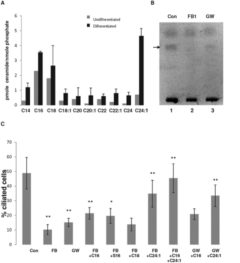 Ceramide depletion reduces ciliogenesis, whereas addition of ceramide rescues cilium formation. Mass spectrometric analysis of ceramide species in undifferentiated human ES cells and ES cell-derived NPs (A) and HPTLC analysis (B) of ceramide in NPs in the presence or absence of inhibitors for ceramide generation (FB1 or GW4869). Arrow in B points at ceramide band stained with cupric acetate/charring. (C) Proportion of ciliated cells (length of cilia > 1 μm) in NPs with reduced ceramide levels and after the addition of exogenous ceramide (C16, C 16:0 ceramide; C18, C 18:0 ceramide; C 24:1 , C 24:1 ceramide) or ceramide analogues (S16, N -palmitoyl serinol). N > 5; p value for difference between controls and FB1- or GW4869-treated cells, ** p