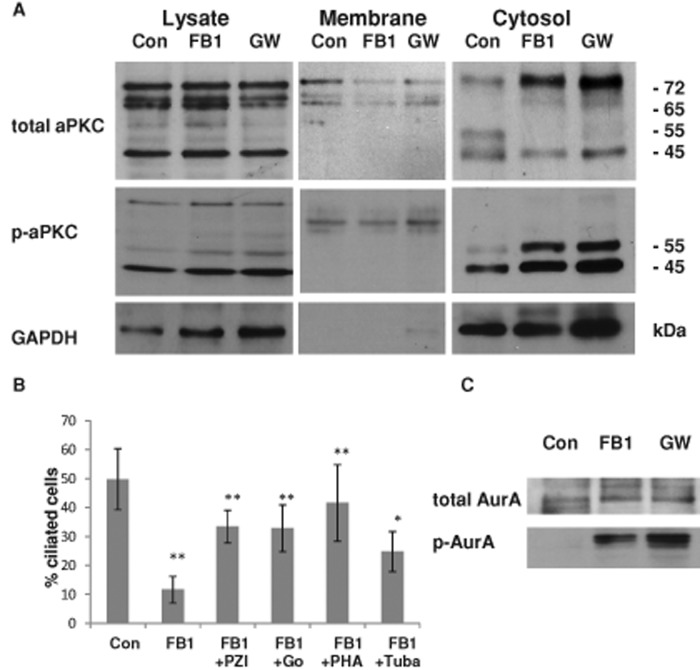 In ceramide-depleted cells, activation of cytosolic aPKC reduces ciliogenesis, whereas inhibition of HDAC6 and AurA rescues cilia. (A) Control and FB1- or GW4869-treated NPs were subjected to subcellular fractionation using differential centrifugation. The cytosolic fraction of ceramide-depleted cells contains a phosphorylated, 55-kDa isoform of aPKC (aPKCcat). In addition, there are 65- and 45-kDa isoforms, the latter of which is phosphorylated but it is also present in control cells. (B) Inhibition of aPKC with pseudo substrate inhibitor peptide of aPKC (PZI) or Go6983 (Go), or AurA and HDAC6 inhibition with PHA-680632 (PHA) and tubacin (Tuba), can partially rescue ciliogenesis in FB1-treated NPs. N ≥ 5, * p