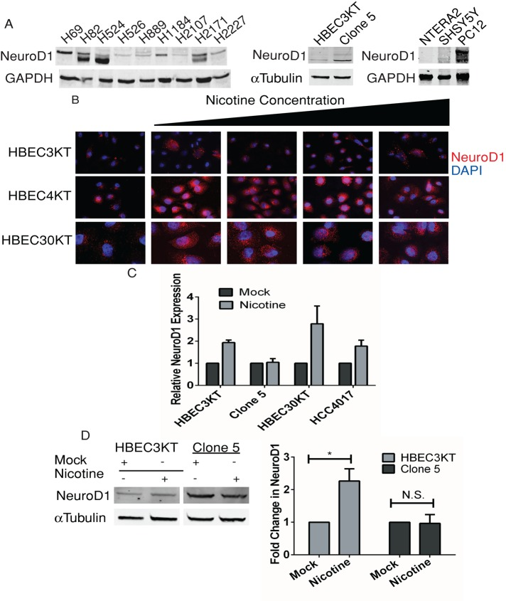 Effect of nicotine on expression of NeuroD1 in patient-derived lung cancer, bronchial epithelial, and neuroendocrine cell lines. (A) Patient-derived SCLC, HBEC3KT, Clone 5, SHSY5Y, NTERA2, and rodent PC12 cell lines were lysed, and 25 μg of total protein was resolved on gels and immunoblotted for NeuroD1; GAPDH was the loading control. (B) Immortalized bronchial epithelial cells HBEC3KT, HBEC4KT, and HBEC30KT were treated with 0.25, 0.5, 1, and 2 μM nicotine for 24–48 h. Cells were fixed and immunostained for NeuroD1 and 4′,6-diamidino-2-phenylindole (DAPI). (C) qRT-PCR analysis of NeuroD1 expression in HBEC3KT, Clone5, HBEC30KT, and NSCLC HCC4017 with or without exposure to 0.25 μM nicotine for 48 h, plotted as relative expression. The control was 18s RNA. One of two independent experiments in duplicate. (D) HBEC3KT and Clone 5 cells were treated with 1 μM nicotine for 48 h, and 25 μg of lysate protein was immunoblotted as in A with tubulin as control. Relative expression quantified using LI-COR infrared imaging in three independent experiments; * p