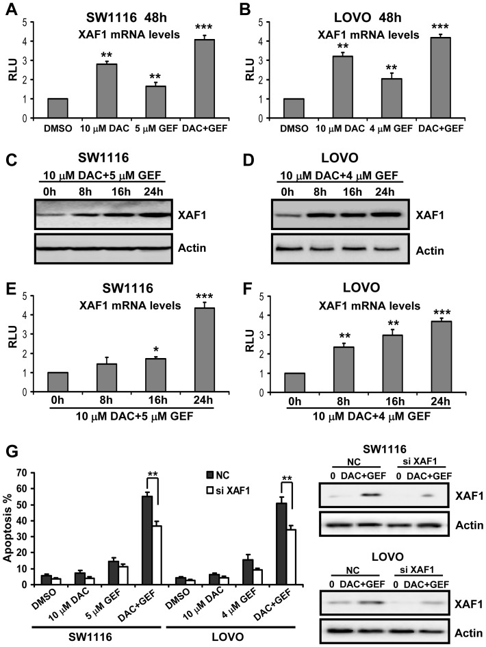 XAF1 plays a critical role in cellular apoptosis triggered by decitabine combined with gefitinib. (A) and (B) SW1116 and LOVO cells were treated for 48 h with the indicated concentrations of decitabine (DAC) and gefitinib (GEF) either alone or in combination. The mRNA expression levels of XAF1 were determined by real-time quantitative PCR. Expression of β-actin served as control. The data are representative of three independent experiments. Columns, mean; bars, SD. **, P