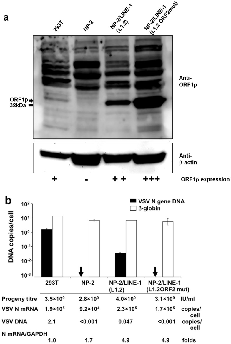 LINE-1 transduction of the NP-2 cell line and its effect on VSV DNA formation. (a) LINE-1 transduction of the NP-2 cell line. The LINE-1 ORF1p and β-actin levels in the 293T, NP-2, NP-2/LINE-1 (L1.2), and NP-2/LINE-1 (L1.2 ORF2mut) cells were examined via Western blot using the anti-ORF1p IgY antibody. The ORF1p protein was observed at a molecular weight of ~41 kDa. The membrane was re-probed with an anti-β-actin antibody. The size marker at 38 kDa is indicated. Note that cropped western blots are shown and that full-length images are presented in the supplementary information . (b) The effect of LINE-1 transduction on VSV DNA production. The cells described above were infected with VSV, and the cell lysates were prepared. Real-time PCR was performed with either the N478-F/N681-R or β-globin primer pair. In addition, the VSV progeny produced by these cells were titrated and the VSV N mRNA expression levels were compared among these cells.