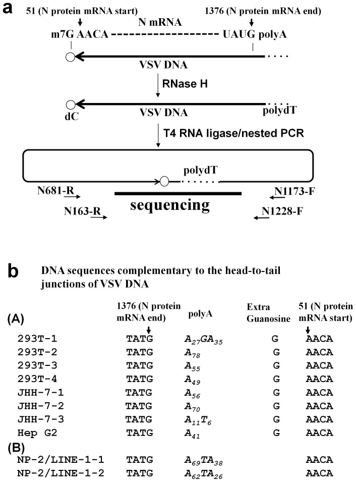 Sequence analysis of the 5′ and 3′ ends of the VSV DNA. (a) Schematic diagram of the inverse PCR method used to amplify the 5′ and 3′ ends of the VSV DNA. According to the results shown in Fig. 3 , we proposed that the VSV mRNA was reverse transcribed to DNA. The start (nucleotide 51) and end (nucleotide 1376) sites of the VSV N mRNA are indicated (GenBank: J02428.1). The cell lysates were treated with RNase H to digest the VSV RNA and then incubated with T4 RNA ligase to induce intra-molecular DNA end joining. The DNA was then amplified across the junction via nested PCR and sequenced. (b) The VSV DNA sequences of the head-to-tail junctions are shown. (A) VSV DNAs from four clones of 293T cells, three clones of JHH-7 cells, and one clone of Hep G2 cells are shown. All clones contained sequences corresponding to the 5′ end of the N mRNA (nt position 1376), followed by polyA tails consisting of 11 to 78 adenylate residues. (B) No additional G residue was found in two clones from the NP-2/LINE-1 (L1.2) cells infected with VSV.