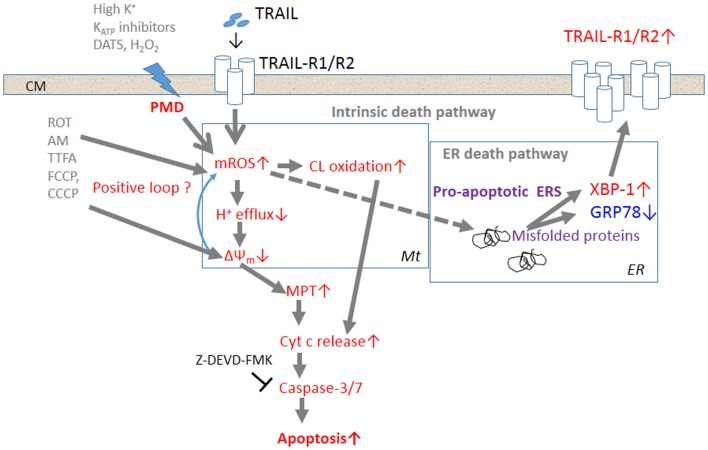 The current model for the potentiation of TRAIL-induced apoptosis in cancer cells by depolarization . Triggering of TRAIL-R1 (DR4)/TRAIL-R2 (DR5) induces the generation and accumulation of mROS, leading to impairment of the ETC function and cardiolipin oxidation. Impairment of the ETC complex I/III function decreases H + efflux, thereby causing ΔΨ m dissipation, i.e., MMD, and additional mROS generation and cardiolipin oxidation, thereby forming a positive loop. Cardiolipin oxidation and ΔΨ m dissipation cooperatively promote the MPT and liberation of sufficient <t>cytochrome</t> c to trigger caspase activation and induce apoptosis. TRAIL-resistant cancer cells appear to gain considerable tolerance for oxidative stress-mediated activation of the intrinsic death pathway. Accumulation of mROS can also promote the formation of unfolded or misfolded proteins, thereby provoking ERS responses such as activation of the transcriptional factor XBP-1. XBP-1 activation leads to upregulation of the surface TRAIL-R2 expression level, thereby enhancing the death signaling. Activation of this alternative death pathway may contribute to commit TRAIL-resistant cancer cells to apoptosis.