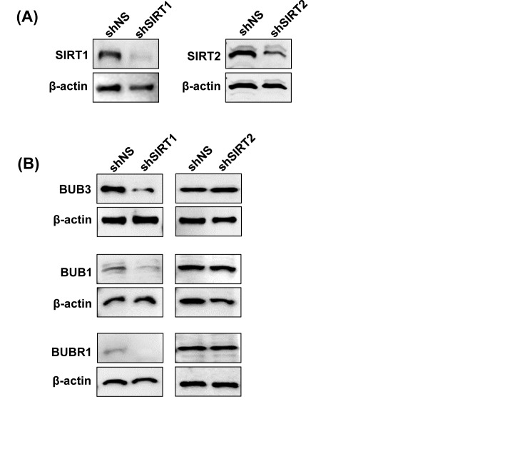 Effect of SIRT1 and SIRT2 knockdown on BUB family proteins Following SIRT1 and SIRT2 knockdown, immunoblot analyses were performed as described in 'Materials and Methods'. Knockdown was confirmed by probing with SIRT1 or SIRT2 antibodies (A), and effect on BUB3, BUB1 and BUBR1 protein levels were assessed following SIRT1 and SIRT2 knockdown (B). Equal loading was confirmed by re-probing the blots with β-actin.