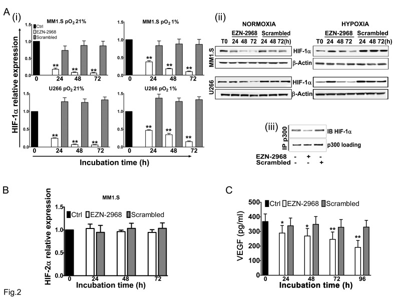 Reduction of HIF-1α levels induced by EZN-2968 oligonucleotide (A) MM1.S and U266 cell lines were incubated in the presence of either EZN-2968 or scrambled oligonucleotide (20 μmol/L) for up to 72h, in normoxic (pO 2 21%) or hypoxic (pO 2 1%) culture conditions. (i) HIF-1α mRNA expression (normalized to GAPDH level) and (ii) protein level (β-actin used as loading control) were then analyzed by <t>qRT-PCR</t> and Western Blotting, respectively. (iii) Immunoprecipitation assay was performed using anti-p300 antibody followed by immunoblotting assay using anti-HIF-1α antibody. MM1.S cells were treated with the HIF inhibitor for 48h prior to the assay. Representative data from one experiment are presented. (B) MM1.S cells were incubated in the presence of either EZN-2968 or scrambled oligonucleotide (20 μmol/L) up to 72h, and mRNA expression of HIF-2α was evaluated by qRT-PCR. (C) VEGF protein level secreted by MM1.S cells exposed to either EZN-2968 or scrambled oligonucleotide (20 μmol/L) were quantified by ELISA. Histograms show the mean value ± SD of three independent experiments. * p