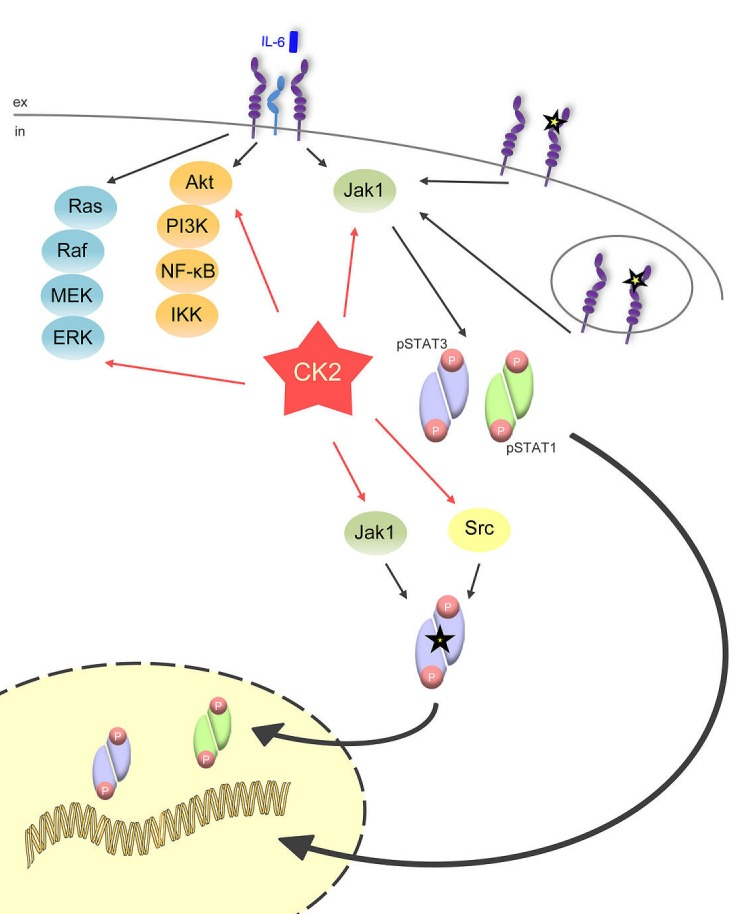 CK2 is the central lynchpin of the signaling pathways investigated in this study The schematic overview shows that IL-6 family cytokines activate the three major signaling pathways Jak/STAT, Ras/Raf/MEK/ERK, and Akt/PI3K. All of them need CK2 activity for the initiation of downstream signaling. The gp130ΔYY-mutant, which is constitutively active and signals from the cell membrane and from intracellular compartments, solely activates Jak/STAT signaling, and this can be efficiently blocked through CK2 blockade. A constitutively active STAT3 mutant (STAT3Y640F), which is constitutively phosphorylated by Jak1 and Src kinase, also needs CK2 activity