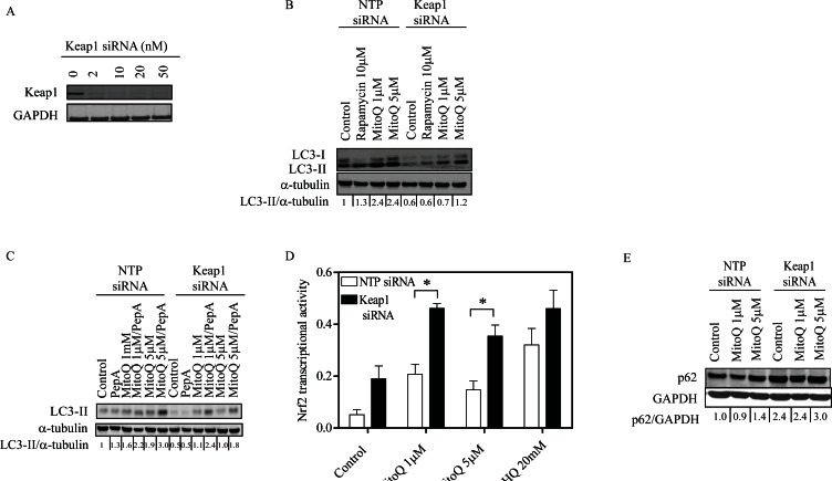 Depletion of Keap1 reduces MitoQ-induced autophagy and increases transcriptional activity of the antioxidant Nrf2 (A) MDA-MB-231 cells were treated with increasing concentrations of siRNA oligonucleotides for 24 hr to optimize the downregulation of Keap1. Cells were treated with 10 nM Keap1 siRNA or control NTP siRNA for 24 hr before being treated with MitoQ (1 or 5 μM) for 24 hr. (B) LC3-II protein was used as an autophagy marker. Rapamycin (10 μM) was used as a positive control. (C) Autophagic flux was determined by treating cells with the lysosomal protease inhibitors Pepstatin A (10 μg/ml) and E64d (10 μg/ml) in the presence or absence of MitoQ (1 or 5 μM) for 24 hr. (D) The transcriptional activity of Nrf2 was measured with an assay with immobilized oligonucleotide containing the ARE consensus binding site. tBHQ (20 μM) was used as a positive control. Error bars represent S.D. *statistical significance compared with NTP siRNA cells. (E) Autophagy impairment was measured by observing levels of the autophagy substrate p62.