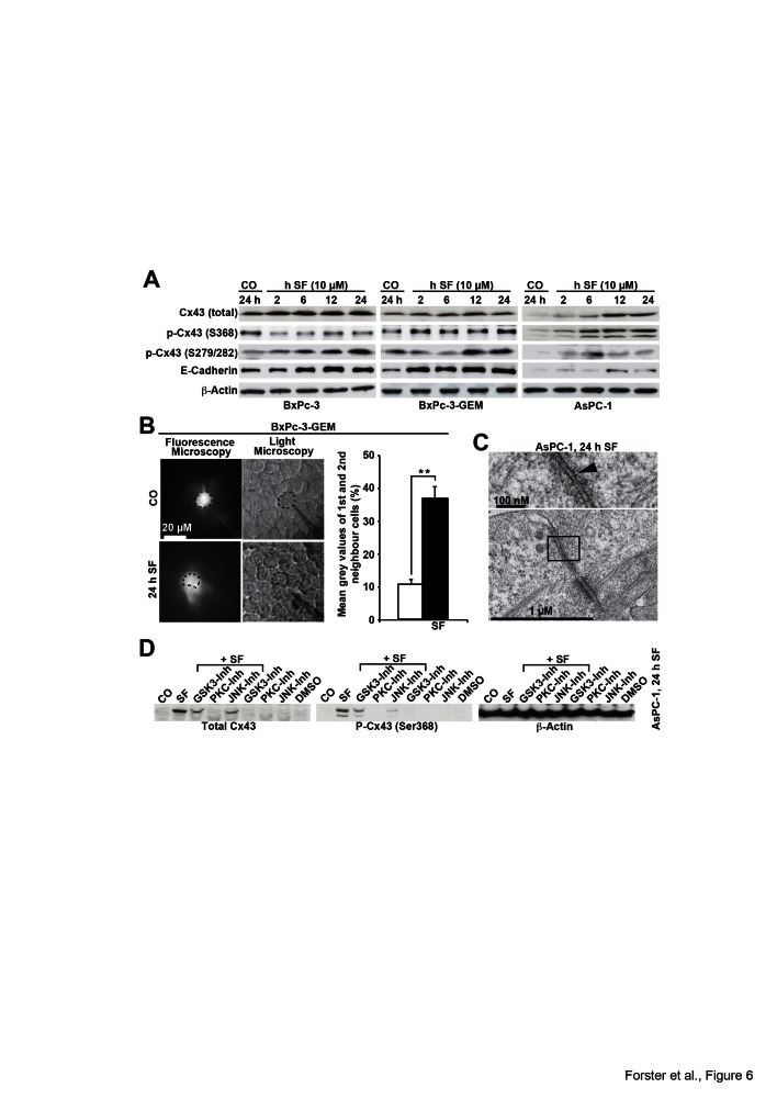 Sulforaphane enhances GJIC and Cx43 protein expression, which is prevented by inhibition of kinase activity (A) BxPc-3, BxPc-3-GEM and AsPC-1 cells were left untreated or were treated with sulforaphane (SF, 10 μM) and time points indicated. The proteins of all treatment groups were harvested at the same time point, and Western blot analysis was performed using antibodies to detect total Cx43 with an antibody, which does not detect Cx43 phosphorylated at Ser 368 (Invitrogen), Cx43 phosphorylated at Ser 368 (Abcam), Cx43 phosphorylated at Ser 279/282, E-cadherin and β-Actin. (B) BxPc-3 cells were treated with sulforaphane (SF, 10 μM) or were left untreated (CO). Twenty-four hours later, the cells were analyzed as described in Fig. 5B. The mean gray values of the 1 st and 2 nd neighbors of all time points are shown. (C) Electron microscopy of AsPC-1 cells, which were left either untreated or were treated with sulforaphane (SF, 10 μM) for 24 h, was performed as described in Fig. C. (D) AsPC-1 cells were left untreated or were treated with sulforaphane (SF, 10 μM) in the presence or absence of the GSK3-inhibitor BIO (10 μM), the PKC-inhibitor staurosporine (100 nM) or the JNK-inhibitor SP600125 (10 μM). Treatment with the inhibitors alone or with the solvent DMSO served as control. Proteins were harvested 24 h after treatment and the expression of total Cx43, Cx43 phosphorylated at Ser 368 and β-Actin was examined by Western blot analysis.