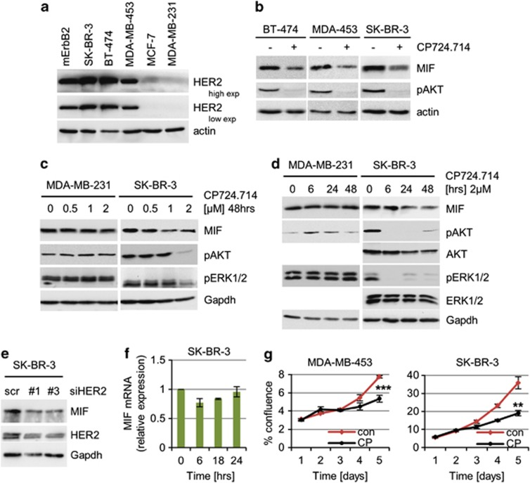 Specific inhibition of HER2 signaling in HER2-overexpressing breast cancer cells reduces MIF protein levels. ( a ) Endogenous HER2 protein levels in human breast cancer cells. Representative immunoblot of cell lysates from the indicated cell lines. mErbB2, murine ErbB2 cell line. Actin, loading control. ( b ) HER2 inhibition destabilizes endogenous MIF protein. The indicated cells were treated with 2 μ M CP724.714 or DMSO for 48 h. Immunoblot. Actin, loading control. ( c and d ) The specific HER2 inhibitor CP724.714 reduces endogenous MIF levels in a dose- ( c ) and time- ( d ) dependent manner. MDA-MB-231 serves as negative control. pAKT and pERK1/2 are functional controls for HER2 inhibition. Immunoblot analyses, Gapdh as loading control. ( e ) Depletion of HER2 in HER2-overexpressing cells leads to reduced MIF levels. SK-BR-3 cells were transfected with two different siRNA against HER2 (1 and 3) or control siRNA (scr). After 3 days, protein levels were assessed by immunoblots. Gapdh, loading control. ( f ) In contrast to reduced MIF protein, corresponding MIF mRNA levels remain unchanged after CP724.714 treatment (2 μM). SK-BR-3 cells, qRT-PCR normalized to 36B4. Relative values in (ratio (2 −ddCT )). Error bars indicate S.E.M. of two independent experiments in triplicates each. ( g ) HER2 inhibition causes growth inhibition in HER2-overexpressing cells. Cells were seeded (day 0) and cultured for 24 h (day 1), then treated with 2 μ M of CP724.714 (CP) for 24 h or left untreated, and followed up to day 5. Cell confluence measured daily by CELIGO Cytometer for MDA-MB-453 (*** P =0.0006) and SK-BR-3 (** P =0.0037). Error bars indicate the ±S.E.M of two independent experiments in duplicates each. Student's t -test of day 5, one-tailed, P- value: * P