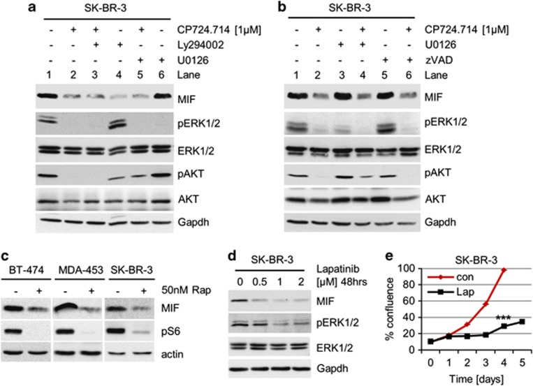 Blocking the HER2–PI3K–mTOR pathway reduces MIF protein levels. ( a and b ) Inhibition of the HER2–PI3K axis, but not the HER2–MEK–ERK1/2 axis, destabilizes MIF protein. SK-BR-3 cells were treated with 1 μ M CP724.714 (specific HER2 inhibitor), 25 μ M Ly294002 (PI3K inhibitor) or 10 μ M U0126 (MEK1/2 inhibitor) ( a ), or with 1 μ M CP724.714, 10 μ M U0126 or 50 μ M zVAD (panCaspase inhibitor) ( b ) alone or in combination as indicated. Immunoblot analyses. pERK1/2 and pAKT staining serve as positive control for respective inhibition. Gapdh, loading control. ( c ) Inhibition of mTOR destabilizes MIF protein. HER2-overexpressing BT-474, MDA-MB-453 and SK-BR-3 cells were treated with 50 nM of Rapamycin for 48 h or left untreated. Immunoblot analyses. pS6 serves as functional control of mTOR inhibition. Actin, loading control. ( d ) The dual HER2/EGFR inhibitor Lapatinib markedly reduces MIF levels. SK-BR-3 cells were treated or not with Lapatinib for 48 h. Immunoblot analysis. pERK1/2 is a functional control for HER2 inhibition. Gapdh, loading control. ( e ) Lapatinib blocks survival. SK-BR-3 cells were seeded (day 0) and cultured for 24 h (day 1). Cells were then treated or left untreated with 2 μ M Lapatinib for 48 h and followed up to day 5. Confluence measured daily by CELIGO Cytometer. Error bars indicate the S.E.M. of a triplicate experiment. Student's t -test of day 4, two-tailed, P- value: *** P