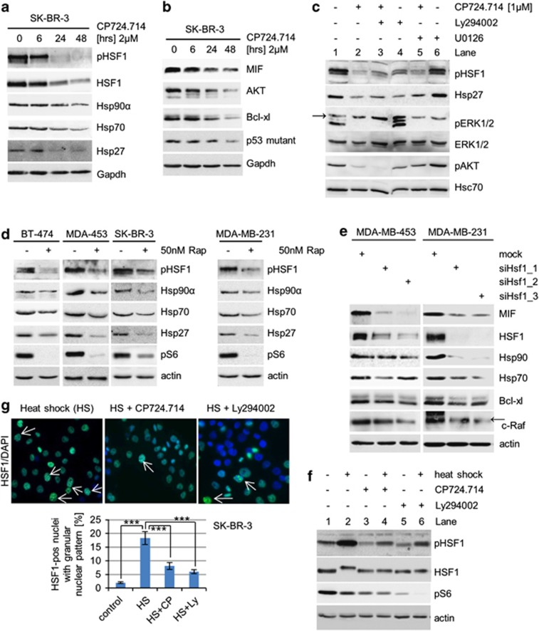 HER2 inhibition leads to HSF1 inactivation and subsequent inactivation of the HSP90 chaperone. ( a and b ) Inhibition of HER2 inactivates HSF1 ( a ) and thereby destabilizes HSP90 clients ( b ). SK-BR-3 cells were treated with 2 μ M CP724.714 for 48 h. Protein levels of pSer 326 HSF1, total HSF1, Hsp90 α , Hsp70 and Hsp27 ( a ) and MIF, AKT, Bcl-xl and mutant p53 R175H ( b ) were assessed by immunoblots. Gapdh, loading control. ( c ) Inhibition of the HER2–PI3K axis, but not the HER2–ERK1/2 axis, inactivates HSF1 and downstream chaperones. SK-BR-3 cells were treated with 1 μ M CP724.714 (specific HER2 inhibitor), 25 μ M Ly294002 (PI3K inhibitor) or 10 μ M U0126 (MEK inhibitor) alone or in combination as indicated. Immunoblot analysis. Arrow indicates unrelated band. Hsc70, loading control. ( d ) Inhibition of mTOR prevents HSF1 activation. Cells were treated or left untreated with 50 nM Rapamycin for 48 h. Immunoblot analyses. pS6 serves as functional control of mTOR inhibition. Actin, loading control. ( e ) HSF1 silencing destabilizes MIF protein. MDA-MB-453 and MDA-MB-231 cells were transfected with different siRNAs against HSF1 for 3 days. Cell lysates were immunoblotted for MIF, panHsp90, Hsp70, Bcl-xl and c-Raf. Representative blots are shown. Actin, loading control. Arrow indicates related band. ( f ) The heat-shock response is impaired in response to inhibition of the HER2 pathway. SK-BR-3 cells were left untreated or treated with 2 μ M CP724.714 or 25 μ M Ly294002 for 48 h, followed by heat shock at 42 °C for 1 h where indicated. Protein lysates were prepared after a recovery of 3 h. Immunoblot analysis for pSer 326 HSF1 and total HSF1. Note that the HS-induced hyperphosphorylated species of total HSF1 (slower migrating band) is blocked by HER2 and PI3K inhibition. pS6 serves as control for HER2 and PI3K inhibition. Actin, loading control. ( g ) The heat-shock response is markedly attenuated in response to HER2 inhibition. SK-BR-3 were treated with 2 μ M CP7