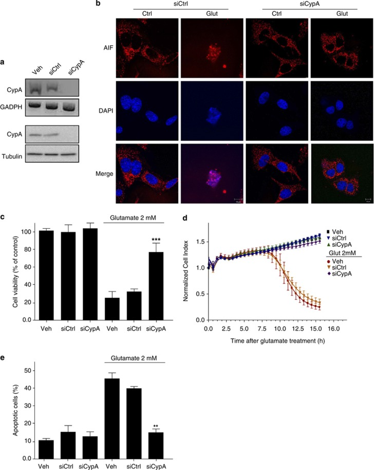 Deletion of CypA prevents the apoptotic process. ( a ) HT-22 cells were transfected with scrambled siRNA (siCtrl) or with siRNA against mouse CypA (siCypA). Total cell lysates from siRNA-treated cells were prepared and the mRNA levels and expression levels of CypA were assessed by RT-PCR (upper panel) and immunoblotting (lower panel), respectively. Expression levels of CypA were significantly reduced in cells transfected with the specific siRNA against the protein. ( b ) Immunofluorescent labeling of AIF (red) and nuclei (DAPI, blue) in HT-22 cells transfected with siCtrl or siCypA, followed by exposure to 2 mM glutamate for 12 h (Glut) as indicated. CypA-downregulated HT-22 cells showed very weak nuclear AIF staining in injured cells. ( c ) Cell viability assessed by the MTT assay in wild-type and CypA knockdown HT-22 cells treated or untreated (control) with 2 mM glutamate for 12 h. Data show that wild-type cells (treated with vehicle) or with the siCtrl underwent apoptosis on glutamate insult, whereas those expressing reduced levels of CypA were more resistant to the glutamate challenge. MTT results are presented as percentage of control, considered to be 100%, and represent mean±S.D. of three independent experiments. ( d ) Cell mortality in CypA-downregulated HT-22 cells on glutamate treatment (2 mM at 0 h, n =8) was also assessed over a time period of about 15 h by impedance measurement. Data show again that cells underwent apoptosis by glutamate only in the presence of CypA. Cell death in wild-type and CypA-blunted cells was also analyzed by Annexin-V-FITC/PI double staining ( e ), showing that apoptosis was abrogated when CypA expression was silenced by specific siRNA. Data are reported as mean±S.D. ** P