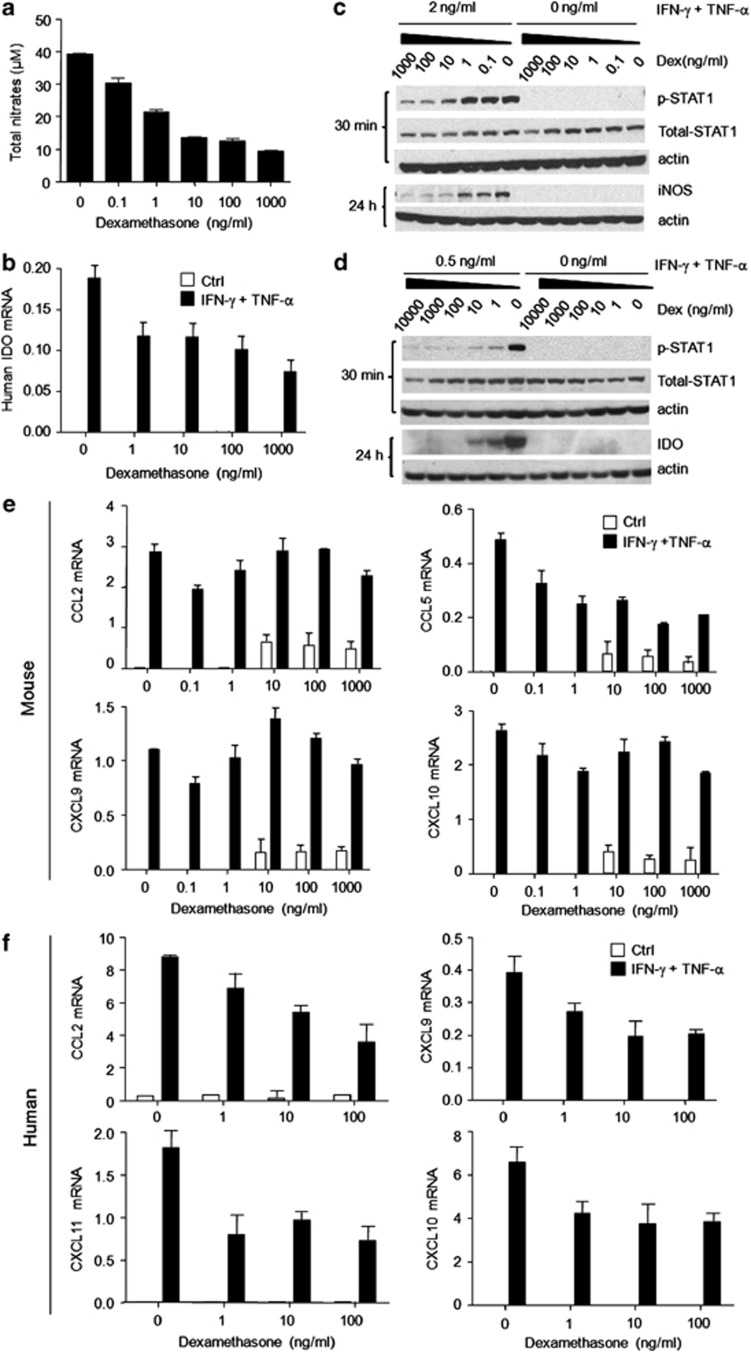 Dex blocked the expression of inflammatory cytokine-induced iNOS and IDO through inhibiting STAT1 phosphorylation. Cultured mouse MSCs or human MSCs were supplemented with the indicated combinations of IFN- γ  and TNF- α  (10ng/ml each), with or without Dex for 24h. ( a ) Nitrates were assayed in mouse MSC supernatants. ( b ) IDO mRNA in human MSCs was determined using real-time PCR. ( c ) Cultured mouse MSCs were supplemented with IFN- γ  and TNF- α  (2ng/ml each), and graded dosages of Dex. STAT1 phosphorylation and iNOS expression at 30min and 24h were detected by western blot analysis. ( d ) Similarly, human MSCs were supplemented with IFN- γ  and TNF- α  (0.5ng/ml each) with or without Dex. STAT1 phosphorylation and IDO expression at 30min and 24h were examined. ( e ) Mouse MSCs were stimulated with IFN- γ  and TNF- α  (10ng/ml each) for 12h, in the presence of graded doses of Dex. Levels of mRNA for CCL2, CCL5, CXCL9, and CXCL10 were detected and normalized to  β -actin. ( f ) Similarly, CCL2, CXCL9, CXCL10, and CXCL11 mRNA were detected in human MSCs, after stimulation with IFN- γ  and TNF- α  (10ng/ml each) for 12h in the presence of graded doses of Dex. Values are shown as mean±S.E.M. Representative of four independent experiments