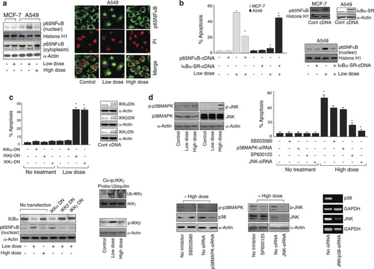 Inhibition of NF κ B and concomitant activation of JNK during genotoxic stress are critical for inducing 'resistance to apoptosis' switchover in drug-resistant cancer cells. ( a ) Western blotting and confocal imaging experiments were conducted to determine nuclear translocation of p65NF κ B in cisplatin-treated A549 and MCF-7 cells ( b ) Cisplatin-treated, p65NF κ B-over-expressed MCF-7 cells and I κ B α -SR-constituted A549 cells were subjected to flow cytometric determination of apoptosis (left panel). The effectiveness of transfecting I κ B α -SR-cDNA/p65NF κ B-cDNA, respectively, to A549/MCF-7 cells was determined by western blot analysis (upper right panel). That I κ B α -SR overexpression in A549 cells nullified cisplatin-induced p65NF κ B nuclear translocation was confirmed by western blotting (lower right panel). ( c ) The role of IKK α / β / γ in chemoresistance was evaluated by transfecting A549 cells with dominant negative (DN) clones of IKK α / β / γ followed by cisplatin treatment and subsequent flow cytometric determination of apoptosis. The efficacy of IKK α / β / γ DN transfections (upper panel; inset) as well as expression of I κ B α and nuclear p65NF κ B in un-transfected/transfected/cisplatin-treated A549 cells (lower left panel) was determined by western blotting. Simultaneously co-immunoprecipitation experiment was employed to study the IKK γ ubiquitination (Ub-IKK γ ) in cisplatin-treated cells, and phospho-IKK β (p-IKK β ) expression was determined by western blot analysis in cisplatin-treated cells (lower right panel). ( d ) Un-transfected/p38MAPK/JNK-siRNA-transfected or SB203580/SP600125-pre-treated A549 cells were subjected to western blot analysis for determination of the levels of p38MAPK, p-p38MAPK, JNK and p-JNK in the presence or absence of cisplatin (upper left panel). In parallel, percent cell death was determined by Annexin-V/7-AAD-positivity (upper right panel). The effectiveness of pharmacological and genetic interventions of p3