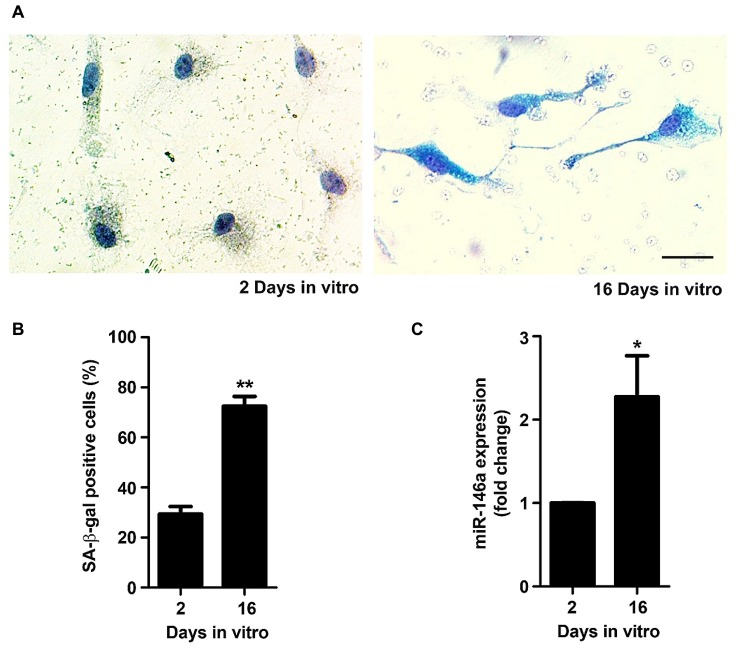 Microglia aged in culture display signs of senescence, including increased senescent-associated β-galactosidase <t>(SA-β-gal)</t> activity and microRNA (miR)-146a expression. Microglial cells were kept in culture for 2 and 16 days in vitro (DIV). Activity of SA-β-gal was determined using a commercial kit. (A) Representative images of 2 and 16 DIV microglia showing SA-β-gal staining. (B) SA-β-gal-positive cells were counted and results expressed in graph bars as mean ± SEM. (C) miR-146a expression was evaluated by Real-Time PCR. Results are expressed in graph bars as mean ± SEM. Cultures, n = 4 per group. t -test, * p