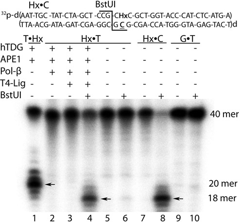In vitro reconstitution of the aberrant BER pathway using TDG and Hx•T duplex. 5 nM 5′-[ 32 P]-labeled oligonucleotide duplex was incubated with 300-nM TDG, 5 nM APE1, 0.1 unit Polβ, 2 units T4 DNA Ligase and 50 μM of dNTPs for 30 min at 37°C. BstUI digestion was carried out at 60°C for 40 min. Lane 1: T•Hx duplex in which T-containing strand is 5′-[ 32 P]-labeled incubated with TDG and then treated by 0.1 M NaOH to cleave at AP sites; lanes 2–8: Hx•T and Hx•C duplexes in which Hx-containing strand is 5′-[ 32 P]-labeled; lanes 9 and 10: G•T duplex in which G-containing strand is 5′-[ 32 P]-labeled. The reaction products were analyzed as described in the Materials and Methods section. Arrows indicate TDG- and BstUI-catalyzed cleavage products.