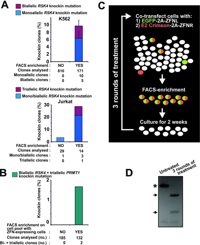 Fluorescent protein-2A-ZFN constructs enable efficient knockin genome editing in demanding applications. ( A ) K562 or Jurkat cells were transfected with mRNA expressing EGFP-2A-ZFNL and DsRed2–2A-ZFNR for RSK4 along with an ssODN knockin donor ( RSK4 Cys443Val/BamHI). For K562, the cells were diluted 3 days post-transfection with mock-transfected cells to produce a pool of ∼0.5% ZFN-expressing cells. Cells of this pool were seeded singly or subjected to FACS isolation of EGFP/DsRed2 double-fluorescent cells (any level) that were thereafter also seeded singly. For Jurkat, non-sorted cells or cells FACS isolated from the 15% most highly EGFP/DsRed2 double-fluorescent cell population were seeded singly 3 days post-transfection. In both experiments, the singly seeded cells were expanded to clonal cell lines and analysed for knockin mutation by RFLP analysis. For K562, data are means + range of two independent experiments. ( B ) K562 cells were co-transfected with mRNA expressing EGFP-2A-ZFNs (left and right) for RSK4 and DsRed2–2A-ZFNs (left and right) for PRMT1 along with ssODN donors for knockin modification of these loci ( RSK4 Cys443Val/BamHI and PRMT1 ScaI). Three days after transfection, non-sorted cells or cells FACS isolated from the 15% most highly EGFP/DsRed2 double-fluorescent cell population were seeded singly, expanded to clonal cell lines and analysed for complete knockin modification of the RSK4 and PRMT1 loci. Data are summed of three independent experiments. ( C ) Overview of strategy for generation of cell pools with high levels of stable knockin modification. In this case, left and right ZFNs of a ZFN pair (ZFNL and ZFNR) have been coupled to distinct fluorescent proteins. ( D ) Example of close to 100% knockin in an MCF10A cell pool. Specifically, MCF10A cells were transfected for codon-conversion knockin at the RSK2 locus as described in Figure 1E , (ii). Three days after transfection, the 40% most highly fluorescent cells were FACS isolated and cu
