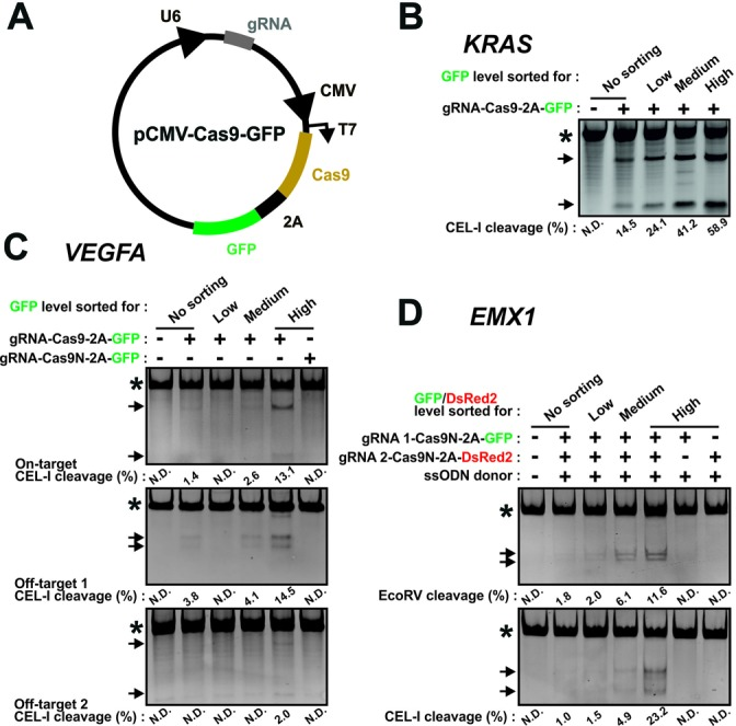 CRISPR/Cas9 genome editing is enhanced using the 2A-coupled fluorescent protein/FACS strategy. ( A ) Schematic of a construct, pCMV-Cas9-FP, that co-expresses gRNA and Cas6–2A-fluorescent protein. Functional parts indicated are U6 promoter, guide (g)RNA, CMV promoter, Cas9 nuclease, 2A peptide and fluorescent protein (GFP). ( B ) – ( D ) K562 cells were transfected (B) with a Cas9-GFP construct targeting the KRAS locus, (C) with a Cas9-GFP construct targeting the VEGFA locus or the same construct containing a nickase version of Cas9 (Cas9N) or (D) with such constructs targeting the EMX1 locus as a nickase pair or as individual nickases coupled to GFP or dsRed2. An ssODN donor ( EMX1 gRNA 1/2 EcoRV) for knockin of an EcoRV restriction site in EMX1 was co-transfected. Three days after transfection, genomic DNA was isolated from non-sorted cells or from cells FACS isolated for low, medium or high fluorescence intensities and analysed by RFLP or CEL-I assay, as indicated. In all experiments, repeated three times with similar results, PCR products containing amplicons derived from mutant alleles or from wild-type alleles only are indicated by the arrows and asterisks, respectively. N.D.: none detected.