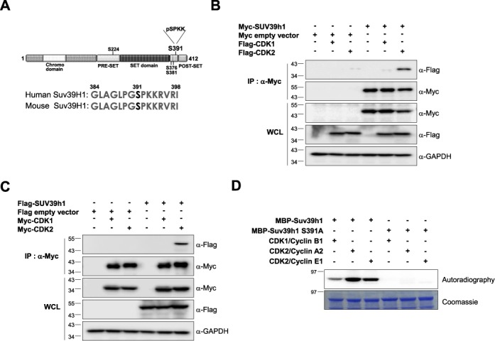 Suv39H1 can form complex with CDK2 but not with CDK1 in vivo. ( A ) Potential phosphorylation sites of human Suv39H1. Putative phosphorylation sites are shown in black and the phosphorylation site with the CDK1 or CDK2 consensus motif (S391 residue) is shown in red. ( B and C ) Suv39H1 interacts with CDK2 but not with CDK1 in vivo . Total cell lysates from 293T cells co-transfected with Myc-Suv39H1 and Flag-CDK1 or Flag-CDK2 (in panel (B)) or Flag-Suv39H1 and Myc-CDK1 or Myc-CDK2 (in panel (C)) were co-immunoprecipitated (IP) using anti-Myc agarose beads. The IP fractions were analyzed by western blotting using anti-Myc or anti-Flag antibody. The expression of each gene in whole cell lysate (WCL) was confirmed by western blot analysis with anti-Flag or anti-Myc antibodies. ( D ) In vitro kinase assay with purified MBP-fused Suv39H1-WT or MBP-Suv39H1-S391A mutant protein. Purified MBP-Suv39H1-WT and MBP-Suv39H1-S391A mutant proteins were incubated with gamma- 32 P-ATP and CDK2/cyclin complexes. The phosphorylation was visualized by exposure to X-ray film. The data showed that MBP-Suv39H1-WT was phosphorylated by both CDK2/cyclin A2 and CDK2/cyclin E1 complexes but not MBP-Suv39H1-S391A mutant.