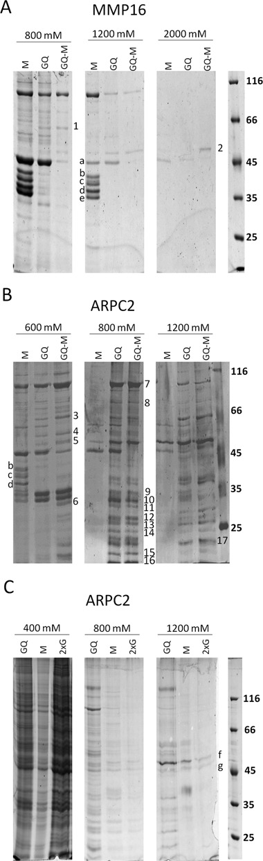 Pull-down assays. ( A ) and ( B ) G-quadruplex motifs of the MMP16 (A) and ARPC2 (B) mRNAs were coupled to streptavidin agarose beads. Whole-cell extract of HEK293 cells was added to the beads. After several washing steps, proteins were eluted with buffers containing the indicated K + -concentrations. Proteins were analyzed by SDS-PAGE. Proteins that bind exclusively to the G-quadruplex-sequence (Q) are indicated. GQ-M represents an independent experiment, in which the HEK293 extract was first incubated with the mutated oligonucleotide and then with the G-quadruplex-forming RNA. The indicated proteins were identified by MS-based peptide mass fingerprinting. ( C ) Pull-down assay with the additional ARPC2 control oligonucleotide with two G-stretches (ARPC2–2xG). 1. ME2 (66 kDa); 2. YB-1 (36 kDa); 3. U2AF65 (54 kDa); 4. hnRNPH (50 kDa); 5. YB-1 (36 kDa) hnRNPF (46 kDa); 6. RPS2 (32 kDa); 7. Nucl (76 kDa); 8. RBM14 (70 kDa); 9. SRSF1 (28 kDa); 10. SRSF1 (28 kDa) RPS6 (29 kDa); 11. RPL7 (29 kDa); 12. SRSF9 (26 kDa), RPS6 (29 kDa); 13. SRSF9 (26 kDa), RPL14 (23,5 kDa); 14. RPL10 (25 kDa) RPS9 (23 kDa); 15. RPL26 (17 kDa); 16. RPL27a (17 kDa); 17. RPS9 (23 kDa); a. Actin (42 kDa); b. hnRNPA3 (39 kDa); c. hnRNPA2B1 (37 kDa) and hnRNPA3 (39 kDa); d. hnRNPA2B1 (37 kDa); e. hnRNPA1 (39 kDa); f. YB-1 (36 kDA); g. YB-1/Actin (36 kDa, 42 kDa).