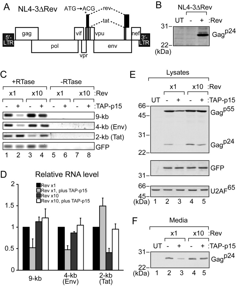 Effect of TAP-p15 overexpression on HIV-1 expression. ( A ) Genome organization of HIV-1 NL4-3ΔRev. The start codon of the Rev gene was mutated from ATG to ACG. ( B ) HEK293T cells in a 6-well plate (70% confluent) were transfected with pcDNA3-GFP (1 μg), pNL4-3ΔRev (1 μg), and either pCI-neo (0.1 μg) (−) or pCI-FLAG-Rev (0.1 μg) (+). After 24 h, cells were collected and proteins from cell pellets were analyzed by SDS-PAGE and western blotting with rabbit anti-Gag p55 antiserum. UT: untransfected cells were used as a control. ( C ) HEK293T cells in a 6-well plate (70% confluent) were transfected with pcDNA3-GFP (1 μg), pNL4-3ΔRev (1 μg), pCI-FLAG-Rev (0.1 or 1 μg), and either pcDNA5 (1 μg) (−) or pcDNA5-FLAG-TAP (0.6 μg) plus pcDNA5-FLAG-p15 (0.3 μg) (+). 0.9 μg of pCI-neo was added for 0.1 μg of pCI-FLAG-Rev to equalize the amount of plasmid DNAs. Supernatants and cells were collected after 24 h. RNA from cell pellets was subjected to semi-quantitative RT-PCR. PCR products were analyzed by electrophoresis in a 2% agarose gel. ( D ) Quantitation of the relative level of RNAs from three independent experiments performed as in (C). GFP mRNA was used for normalization. 0.1 μg of the pCI-FLAG-Rev sample (lane 1) was set to 1. Averages and standard deviations are shown. ( E ) Protein from the cell pellets in (C) was analyzed by SDS-PAGE and western blotting with rabbit anti-Gag p55 antiserum or the anti-GFP antibody. UT: untransfected cells were used as a control. U2AF 65 was a loading control. ( F ) The filtrated media from (C) were immunoprecipitated with rabbit anti-Gag p55 antiserum and detected by western blotting with the monoclonal anti-Gag p24 antibody.