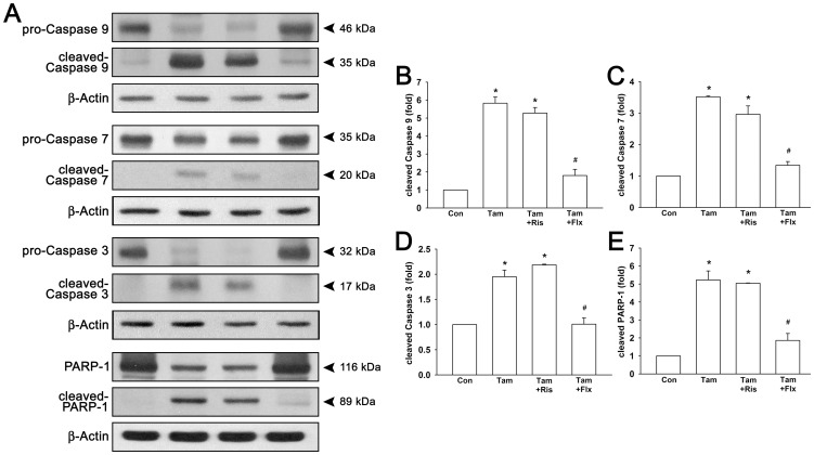 Risperidone has no influence on tamoxifen-induced cleavage of caspases and PARP-1 in T47D cells. Cells were treated with 1 µM tamoxifen with or without 3 µM risperidone or 0.3 µM fluoxetine for 72 hours. Representative protein blotting images are shown in ( A ). Treatment of tamoxifen with or without risperidone resulted in increased protein expression of cleaved caspase 9 ( B ), caspase 7 ( C ), caspase 3 ( D ), and PARP-1 ( E ). Graphs show mean ± SEM of three or more independent experiments.  * ,  p