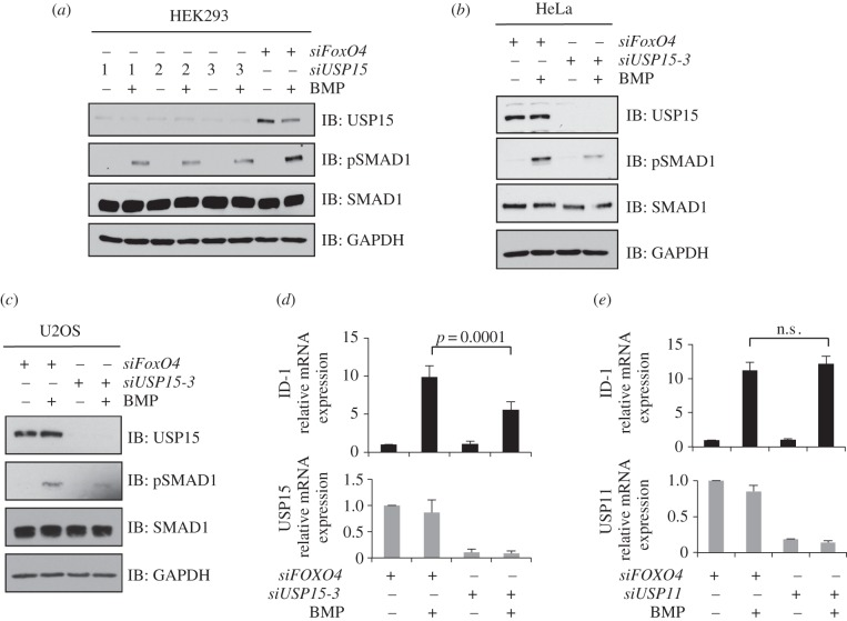 Depletion of USP15 inhibits BMP signalling. ( a ) HEK293 cells were transiently transfected with three individual siRNAs targeting USP15, serum-starved overnight and stimulated with 6.25 ng ml −1 BMP for 1 h prior to lysis. Extracts were resolved by SDS-PAGE and subjected to immunoblotting with antibodies against endogenous USP15, pSMAD1, SMAD1 and GAPDH. ( b ) As in ( a ), except that siUSP15-3 was used to knockdown endogenous USP15 expression in HeLa cells. ( c ) As in ( b ) except that U2OS cells were used. ( d ) HEK293 cells were transiently transfected with siUSP15-3. Cells were serum-starved overnight and stimulated with 6.25 ng ml −1 BMP for 1 h. Cells were then washed and harvested 2 h later. The expression of USP15 and the BMP-target gene ID1 were assessed by qRT-PCR. Results are average of six biological replicates. The error bars indicate s.d. ( e ) As in ( d ), except that HEK293 cells were transfected with siUSP11. The expression of USP11 and ID1 were assessed by qRT-PCR. Results are average of three biological replicates. The error bars indicate s.d.