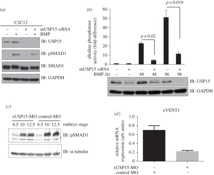 USP15 impacts osteoblastic differentiation in C2C12 myoblasts and modulates BMP signalling in Xenopus embryogenesis. ( a ) Mouse myoblast cell line C2C12 were transfected with siRNAs targeting mouse FoxO4 or USP15. Cells were serum-starved overnight and treated with or without BMP for 1 h prior to lysis. Extracts were resolved by SDS-PAGE and immunoblotted with antibodies against USP15, pSMAD1, total SMAD1 and GAPDH. ( b ) C2C12 cells transfected with mouse siFoxO4 or mouse siUSP15 were grown for up to 4 days in the presence of BMP. Cells were lysed and the alkaline phosphatase activity measured using a fluorescence plate reader. Data are represented as mean of three biological replicates and error bars indicate s.d. Representative extracts were resolved by SDS-PAGE and subjected to immunoblotting with antibodies against USP15 and GAPDH. ( c ) Xenopus embryos were injected with 80 ng of either xUSP15- (xUSP15-MO) or control-MO morpholinos at the one-cell stage and then collected at the indicated stages. Lysates were resolved by SDS-PAGE and immunoblotted with antibodies against pSMAD1 and α-tubulin. ( d ) qRT-PCR analysis of xVENT1 mRNA expression. Embryos were injected with 80 ng of either USP15-MO or control-MO at the one-cell stage and then animal caps were cut at stage 8.5. The animal caps were collected at the equivalent embryo stage of 10.5 and processed for qRT-PCR.