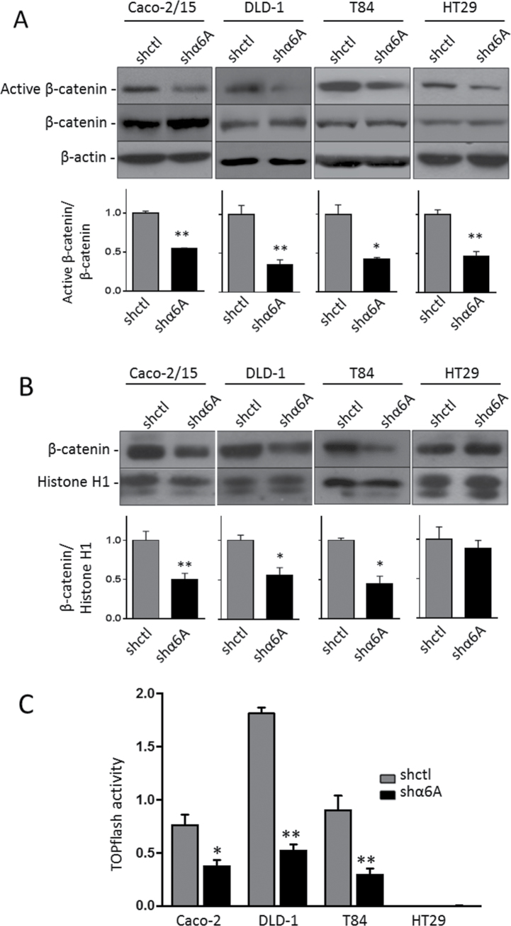 Regulation of the Wnt/β-catenin pathway by the α6A variant subunit. Representative WB and graph of the densiometric analysis for the detection of active β-catenin and total β-catenin in the whole cell extract ( A ) and β-catenin in nuclear extracts ( B ). β-Actin served as loading control in cell extracts and histone H1 for nuclear extracts. Statistical analysis between shctrl and shα6A: * P ≤ 0.05, ** P ≤ 0.01, t -test, n = 3. ( C ) TOPflash assay of the response of β-catenin/TCF4 promotor activity in the α6A variant knocked down cell lines and their corresponding shctrl. Results showed the net luciferase/renilla ratio (Topflash − FOPflash). Statistical analysis between shctrl and shα6A: * P ≤ 0.05, ** P ≤ 0.01, t -test, n = 3.