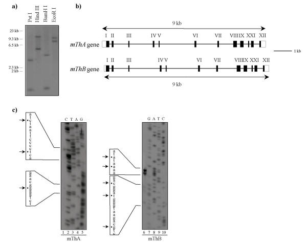 Cloning of the two mouse peroxisomal thiolase genes and determination of the transcription initiation sites of each gene . a) Southern blot of a 129SV mouse genomic DNA digested with different restriction enzymes. Membrane was hybridized with an exon 9 rat thiolase 32 P-labelled cDNA probe. A molecular weight marker DNA is indicated on the left in kb. b) Structural organizations of the mouse thiolase A and B genes: exon-intron distribution. Exons are numbered from I to XII. Translated sequences are shown as black boxes and untranslated sequences are open boxes. c) Identification of the transcription initiation sites of mouse thiolase A and B genes by ribonuclease protection assay. RNA probes corresponding to the genomic sequence extending upstream from the exon 1-intron 1 border (probes size: 678 nt and 521 nt for mThA and mThB, respectively) were hybridized to mouse liver RNA (lanes 1 and 6) and digested with RNAses. The protected fragments were analysed on a denaturing polyacrylamide gel (for details, see Methods). Lanes 2–5 and 7–10, DNA sequencing ladder from plasmids containing +1 mThA and +1 mThB probes, respectively. Arrows and dots indicate the different bands corresponding to multiple transcription initiation sites.