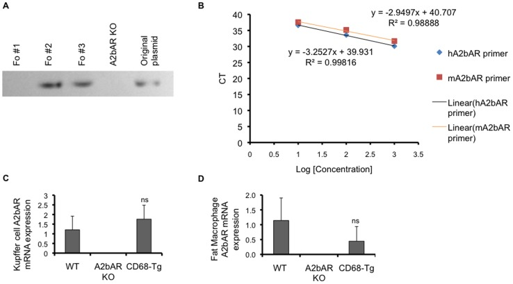 Generation of transgenic mice expressing A2bAR in macrophages only. A . Genomic analysis by PCR of CD68-hA2bAR transgene in founder lines 1, 2, and 3 (Fo # 1, 2, 3) compared to A2bAR KO mice. Line 2 was used for the remainder of the studies based on expression analysis shown in panels c,d. B . Determination of primer efficiency. The amplification efficiency of human A2bAR (hA2bAR) and mouse A2bAR (mA2bAR) TaqMan primers was tested using the CT slope method. The target template was diluted over a log scale and CT values were determined by qPCR. A plot of CT versus log cDNA concentration is shown for hA2bAR and mA2bAR primers. Amplification efficiency (Ex) is calculated using the slope of the graph in the following equation: Ex = 10 (-1/slope) – 1. The calculated efficiencies are 1.18 and 1.03 for mA2bAR and hA2bAR, respectively. C . Human A2bAR and mouse A2bAR mRNA expression was measured by qPCR in Kupffer cells isolated from mice at 12 weeks of age (n = 5 WT, 6 A2bAR KO, 6 CD68-Tg; ns = not statistically different from WT). D . Visceral (epididymal) adipose tissue macrophages were sorted via flow cytometry-based markers (see Methods) and subjected to qPCR of A2bAR mRNA. Data are averages ± SD. Relative mRNA expression was determined using the ΔΔCT method and were normalized to 18s rRNA values. Data are averages ± SD. *Student two-tail t-test assuming equal variance was found significant only when p-value