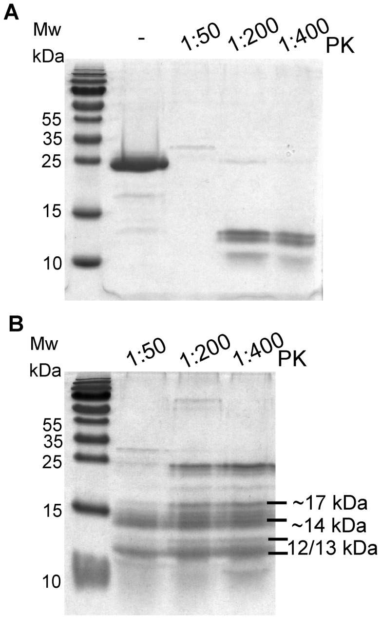 Shaking-induced fibrils have Proteinase K resistance. SDS-PAGE of recMoPrP c 23–231 (panel A) and fibrils (panel B) without (PK-) and with PK at 1∶50, 1∶200 and 1∶400 (PK:PrP, g:g) shows that shaking-induced fibrils have 12, 13, 14 and 17 kDa resistance bands.