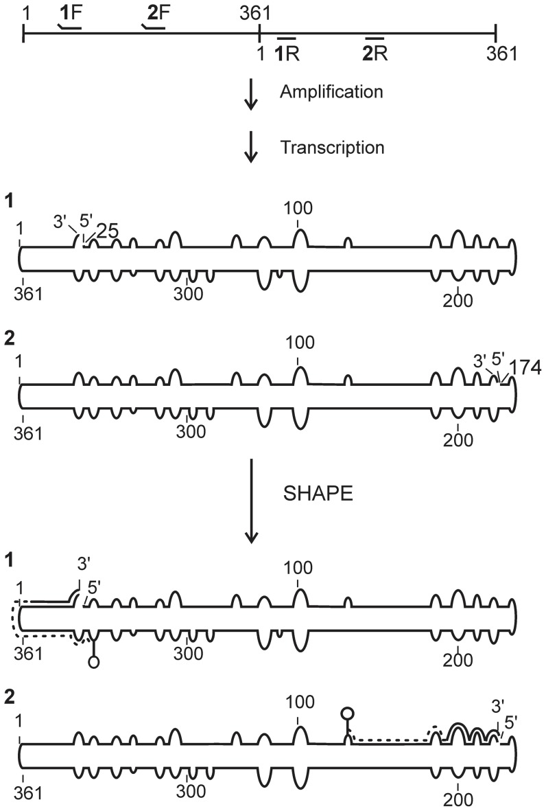 Schematic flow chart illustrating the detailed steps of the hSHAPE experiment with dimeric PSTVd. The numbered primers are used for the amplification of the PSTVd monomers (i.e. 1F/1R and 2F/2R). The raised ends of the primers represent the non-complementary regions, specifically the T7 RNA polymerase promoter, which is used for the run-off transcription. The RNAs obtained after amplification and transcription are numbered 1 and 2. These RNAs were subjected to the SHAPE reaction followed by primer extension. During the latter step the reverse transcriptase produces a cDNA fragment (dashed line) the length of the distance from the start of the RNA until the first adduct (e.g. circle on top of a line).