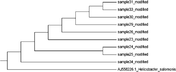 Helicobacteraceae DNA was detected with single PCR in all the colonic biopsies: Evolutionary relationships of taxa for helicobacter salomonis the evolutionary history was inferred using the UPGMA, Kimura 2-parameter and MEGA5 methods.