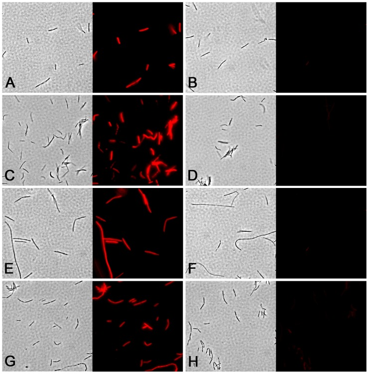 Surface sialylation is conserved among oral fusobacteria. Fusobacterial clinical isolates were grown in SDM to mid-log phase before fluorescently labeling surface sialic acids. Each set of images is shown with the phase contrast image on the left and the corresponding epifluorescence image on the right. The pictured species are: A) F. nucleatum ssp. animalis , B) F. nucleatum ssp. animalis pretreated with neuraminidase, C) F. nucleatum ssp. vincentii , D) F. nucleatum ssp. vincentii pretreated with neuraminidase, E) F. nucleatum ssp. polymorphum , F) F. nucleatum ssp. polymorphum pretreated with neuraminidase, G) F. periodonticum, and H) F. periodonticum pretreated with neuraminidase. Images were captured at 1000x total magnification.