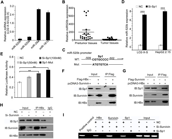 HBx down-regulates miR-520b through binding to Sp1 with partner survivin. (A) The expression levels of miRNA-520b, miRNA-520e, miRNA-29a and miRNA-181c were examined by qRT-PCR in LO2-X-S/LO2-X cells. (B) The expression of miR-520b in clinical HCC and peritumor samples was detected by qRT-PCR. (C) A model shows Sp1 binding site-directed mutation in the promoter region of miR-520b. (D) The effect of knockdown of Sp1 on miR-520b in LO2-X-S or HepG2.2.15 cells was examined by qRT-PCR analysis (*** P