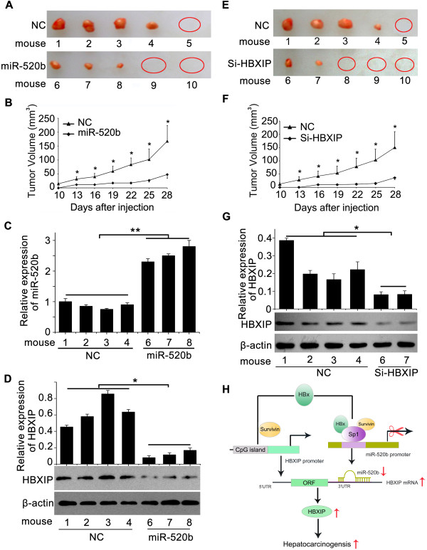 MiR-520b/HBXIP modulates growth of LO2-X-S cells in vivo. (A-G) The effect of miR-520b or si-HBXIP on the growth of LO2-X-S cells was detected by xenograft assay. The expression levels of miR-520b and HBXIP in the tumor tissues from mice (n = 5, each group) were determined by qRT-PCR or western blot analysis, respectively. Data are shown as mean ± SD of three independent experiments (* P