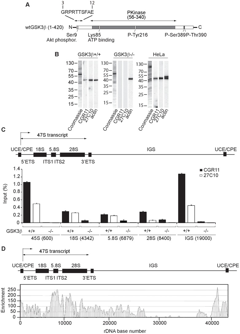 GSK3β distributes through the entire rDNA transcription unit, occupying the rRNA gene promoter and transcribed sequences. ( A ) Schematic representation of the primary structure of human GSK3β, including the N-terminal stretch of amino acids used as epitope for the GSK3β antibody CGR11. ( B ) Immunoblots of total lysates obtained from GSK3β +/+ MEFs, GSK3β −/− MEFs and HeLa cells analyzed with the anti-GSK3β antibodies CGR11 and 27C10 and with an anti-actin antibody. ( C ) ChIP and qPCR on growing GSK3β +/+ MEFs and GSK3β −/− MEFs at the rRNA gene promoter, 18S, 5.8S, 28S rDNA and IGS with the anti- GSK3β antibodies CGR11 and 27C10. Positions of all primers are indicated in bracket. The structure of individual mouse ribosomal rDNA repeat is shown to show the location of the different rDNA fragments analyzed. ( D ) ChIP-Seq performed on GSK3β +/+ MEFs. The previously sequenced mouse rDNA repeat BK000964 was utilized in our analysis procedure. The frequency of hits by sequences matching the region spanning the rDNA repeat sequence and IGS is shown by the resulting graph.