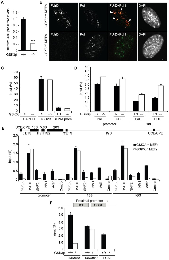 GSK3β regulates pol I transcription activation. ( A ) rRNA synthesis in GSK3β +/+ MEFs and GSK3β −/− MEFs. For the analysis, relative 45S pre-rRNA levels were monitored from total RNA preparations by RT–qPCR using actin mRNA as internal control. Error bars represent the standard deviation of three independent experiments [p = 3.39e-05 (***)]. ( B ) FUrD incorporation assays on living GSK3β −/− and GSK3β +/+ MEFs subjected to DRB treatment. Transcription was monitored by a short FUrd pulse to monitor incorporation into nascent nucleolar transcripts. After fixation, cells were co-stained with a fluorochrome conjugated anti-BrdU antibody to detect the incorporated FUrd and with a human auto-immune serum against pol I (S57299). Detection was by confocal microscopy. Scale bar, 5 ìm. ( C ) MeDIP and qPCR analysis on growing GSK3β +/+ MEFs and GSK3β −/− MEFs performed with an antibody for 5-methylcytidine. qPCR analysis on the precipitated DNA was performed with primers amplifying rRNA gene promoter and reference genes TSH2B and GAPDH. ( D ) ChIP and qPCR on growing GSK3β +/+ MEFs and GSK3β −/− MEFs at the rRNA gene promoter and 18S with the pol I specific autoimmune serum S57299 and an anti-UBF antibody. ( E ) ChIP and qPCR on growing GSK3β +/+ MEFs and GSK3β −/− MEFs at the rRNA gene promoter, 18S and IGS with the anti-GSK3β antibody CGR11 and antibodies against WSTF, SNF2h, NM1, actin and non-specific rabbit IgGs. ( F ) ChIP and qPCR on growing GSK3β +/+ MEFs and GSK3β −/− MEFs at the rRNA gene promoter with antibodies against H3K9Ac, H3K4me3 and PCAF.
