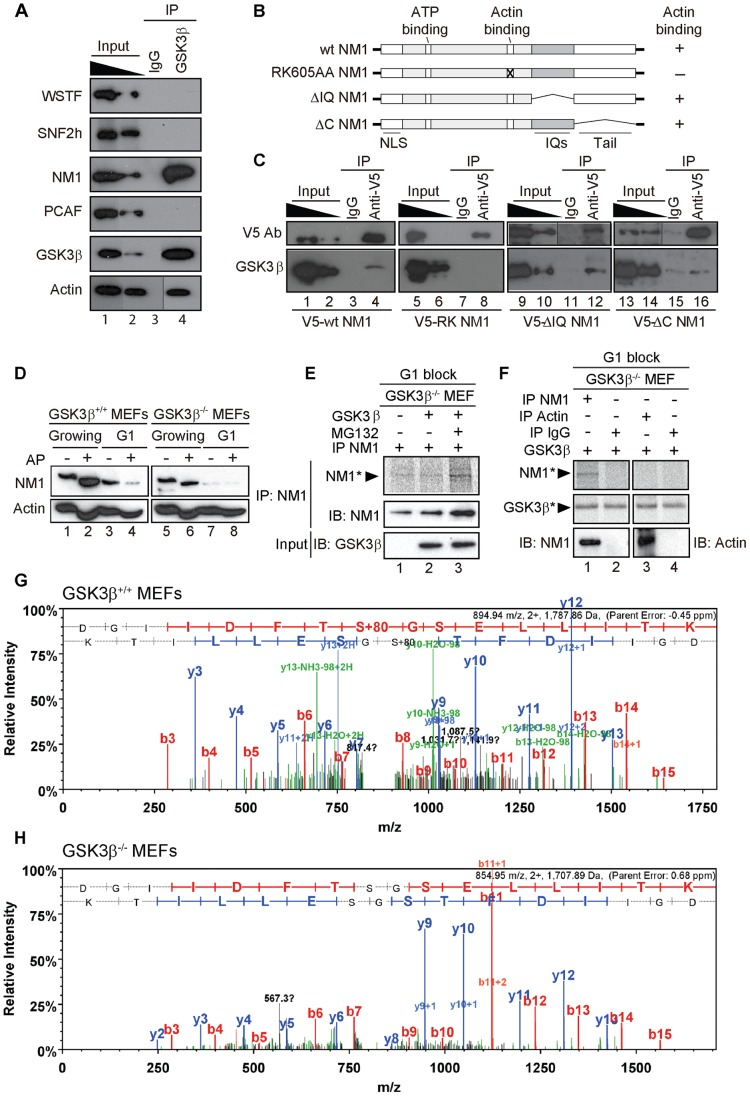 GSK3β phosphorylates NM1. ( A ) GSK3β, NM1 and actin are co-precipitated from nuclear protein extracts prepared from growing GSK3β +/+ MEFs. Bound proteins were detected on immunoblots with antibodies against WSTF, SNF2h, NM1, PCAF, GSK3β (CGR11) and actin. 10% of the input is shown in Lane 1. IP, immunoprecipitation. ( B ) Schematic representation of V5-tagged wt and mutated NM1 constructs stably expressed in HEK293T cell lines. ( C ) Co-precipitations of GSK3β from total lysates obtained from HEK293T cells stably expressing wt and mutated V5-tagged NM1 constructs as indicated. 10% of the input is shown. IP, immunoprecipitation. ( D ) Lysates were prepared from growing GSK3β +/+ MEFs and GSK3β −/− MEFs or from GSK3β +/+ MEFs and GSK3β −/− MEFs arrested in G1 by serum starvation. Where indicated extracts were subjected to alkaline phosphatase (AP) treatment. Lysates were analyzed on immunoblots for NM1 and actin. ( E ) Kinase assays were performed on lysates from G1-arrested GSK3β −/− MEFs untreated or treated with the proteasome inhibitor MG132, supplemented with γ- 33 P-ATP. Where indicated the lysates were incubated with recombinant GSK3β. To monitor NM1 phosphorylation, the lysates were subjected to immunoprecipitations with anti-NM1 antibodies. Phosphorylated NM1 was detected by phosphorimaging against the levels of unphosphorylated NM1 detected on immunoblots. ( F ) Kinase assays were performed on endogenous NM1 or actin immunoprecipitated from lysates of G1-arrested GSK3β −/− MEFs treated with MG132; after immunoprecipitations the beads were washed and incubated with γ- 33 P-ATP and recombinant GSK3β. Phosphorylated NM1 (NM1*) and autophosphorylated GSK3β (GSK3β*) were detected by phosphorimaging. The immunoprecipitated endogenous NM1 and actin were detected on immunoblots. Non-specific IgGs were used as negative control for the immunoprecipitations. ( G–H ) Tandem MS spectra of phosphoprylated and non-phosphorylated peptide DGIIDFTSGSELLITK identified within