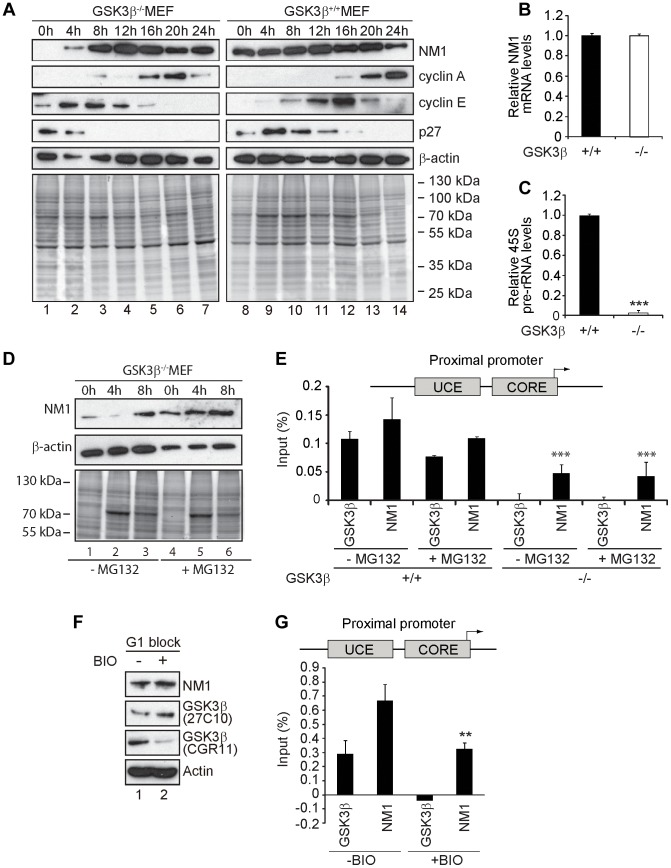 GSK3β-dependent NM1 phosphorylation suppresses proteasome mediated degradation and mediates association with chromatin. ( A ) Cell cycle profile analyzed at the indicated time points, after release from a G1 arrest by serum starvation, on immunoblots of the corresponding lysates for NM1, cyclin A, cyclin E, p27 and β-actin. ( B ) Relative NM1 mRNA levels in GSK3β +/+ MEFs and GSK3β −/− MEFs monitored by RT-qPCR using β-tubulin mRNA as internal control. ( C ) rRNA synthesis in GSK3β +/+ MEFs and GSK3β −/− MEFs arrested in G1 by serum starvation. For the analysis, relative 45S pre-rRNA levels were monitored from total RNA preparations by RT-qPCR using tubulin mRNA as internal control [p = 3.2e-09 (***)]. ( D ) Lysates from GSK3β −/− MEFs untreated or treated with the proteasome inhibitor MG132, released from a G1 block were collected at the indicated time points and analyzed on immunoblots for NM1 and β-actin. ( E ) ChIP and qPCR analysis on chromatin isolated from GSK3β +/+ MEFs and GSK3β −/− MEFs synchronized in G1, untreated or treated with MG132, at the rRNA gene promoter with antibodies against NM1 and GSK3β (CGR11). Significances p(−MG132) = 2.2e-05 (***) and p(+MG132) = 3.0e-05 (***) were respectively calculated against the NM1 values obtained in GSK3β +/+ MEFs not treated with MG132. ( F ) Immunoblots of total lysates from GSK3β +/+ MEFs untreated or treated with the kinase inhibitor BIO. Analysis was performed with antibodies to NM1, actin, and the GSK3β antibodies 27C10 and CGR11 as indicated. ( G ) ChIP and qPCR analysis on chromatin isolated from GSK3β +/+ MEFs at G1, untreated or treated with BIO, at the rRNA gene promoter with antibodies against NM1 and GSK3β (CGR11). The significance p = 0.009 (**) was calculated against the NM1 values obtained in GSK3β +/+ MEFs not treated with BIO.
