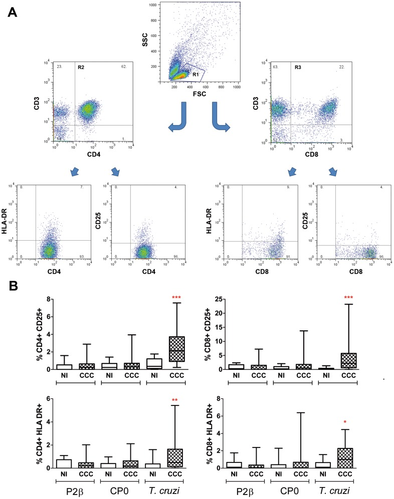 Activation markers on CD4+ and CD8+ T cell subsets upon T. cruzi and ribosomal protein activation. PBMC isolated from patients with chronic Chagas' disease Cardiomyopathy (CCC; n = 27) and non-infected individuals (NI; n = 20) were seeded at 2.5×10 6 cells/well and stimulated with T. cruzi lysate, P2β or CP0 proteins (10 µg/ml) or medium alone for 6 days. PBMC were stained with CD3-APC, CD4-PE-Cy5 or CD8-PE-Cy5 and activation marker-specific labeled antibodies (CD25-FITC and HLA-DR-PE) prior to flow cytometry analysis. 10,000–15,000 events in the lymphocyte gate (R1 gate) were acquired using a FACSAria flow cytometer (Becton Dickinson); dead cells were excluded by forward vs side-scatter (FSC/SSC) gating. A) Gate-pathway used to determine the activation expression in the populations graphed in B. B) Results were expressed as the percentage of CD25+ or HLA-DR+ cells in CD3+CD4+ (R2 gate) or CD3+CD8+ (R3 gate) lymphocytes. Horizontal lines represent the median and percentiles 25–75th, vertical lines represent percentiles 5–95th. Statistical analysis was performed using the Mann-Whitney U Test, *** P