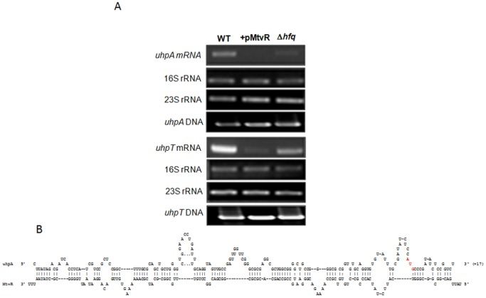 The MtvR sRNA also targets uhpA gene in E. coli . (A) Reverse-transcription analysis of the effect of MtvR on the mRNA levels of uhpA . Total RNA was obtained from late-exponentially growing cells of the E. coli strains WT and WT expressing MtvR (+pMtvR), or the Δ hfq mutant (Δ hfq ). Reverse-transcription experiments were also performed for uhpT , induced by UhpA. The 16S and 23S rRNA bands were used as loading controls. PCR experiments were also performed using DNA, for reference. Images shown are representative of 3 independent experiments. B) Schematic representation of the nucleotide interaction between the 5′-UTR of uhpA and MtvR, highlighting in red lettering the AUG translation start site in the 5′-UTR of uhpA .