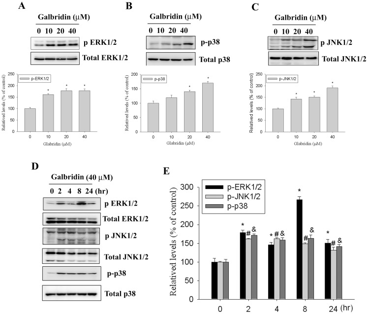 Glabridin activates the phosphorylation of ERK1/2, p38 MAPK and JNK1/2 in HL-60 cells. (A–C, upper panel)) Cells were treated with different concentrations of glabridin (0–40 µM) for 24 h and then subjected to western blotting with an antibody against ERK1/2, JNK1/2, and p38 MAPK. (A–C, lower panel) Quantitative results of p-ERK1/2, p-p38, and p-JNK1/2 protein levels, which were adjusted with the total ERK1/2, p38, and JNK1/2 protein levels and expressed as multiples of induction beyond each respective control. Values represent the mean ± SE of three independent experiments. (*) p