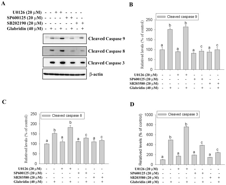JNK1/2 and p38 MAPK are essential for caspase activation induced by glabridin. (A) HL-60 cells were treated for 24 hours with 40 µM glabridin with or without a 1-hour pretreatment of 20 µM U0126, SP600125, or SB202190. The expression of cleaved caspase-9, -8 and -3 were detected by western blotting. (B–D) Quantitative results of cleaved caspase-9, -8, and -3 protein levels, which were adjusted to the β-actin protein level and expressed as multiples of induction beyond each respective control. Values represent the mean ± SE of three independen experiments. Data were analyzed using a one-way ANOVA with Tukey's posthoc tests at 95% confidence intervals; different letters represent different levels of significance.