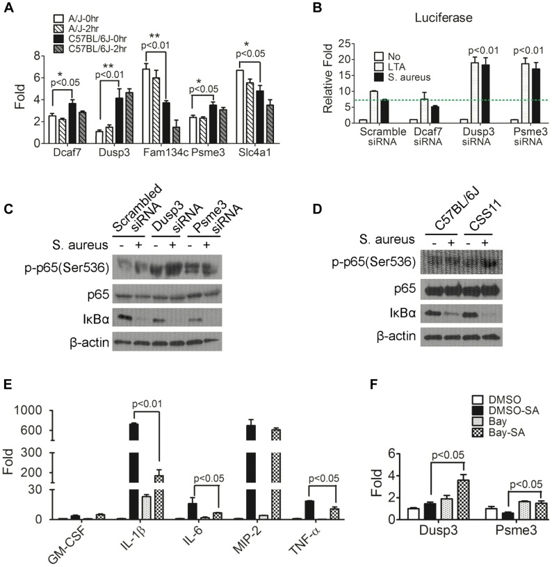Down-regulation of Dusp3 and Psme3 in A/J are responsible for increased NF-κB signaling activity. ( A ) The expression of Dcaf7 , Dusp3 , and Psme3 in A/J was significantly lower than C57BL/6J under both non-infected and S. aureus infected conditions. Eight-week-old male A/J and C57BL/6J mice (n = 6) were challenged (i.p.) by S. aureus Sanger 476 at 10 7 CFU/g or DPBS. At two hours post-infection whole blood RNAs was extracted by RNeasy followed by RT-PCR and qPCR. Dcaf7 (0.81 fold; p