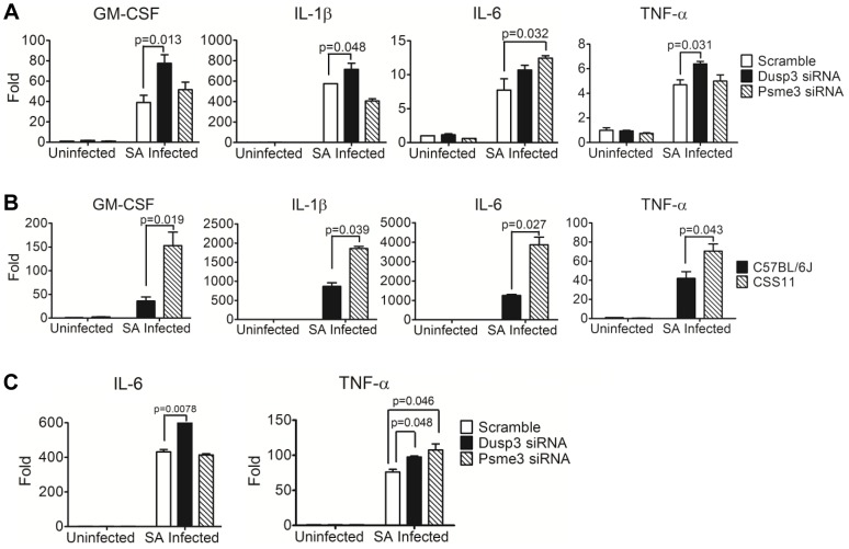 Quantitative-PCR confirmed elevation of cytokine production in macrophages transfected by Dusp3 and Psme3 siRNA or BMDMs from CSS11(GM-CSF, IL-1β, IL-6, and TNF-α). ( A ) Down-regulation of Dusp3 and Psme3 by siRNA led to increased cytokine RNA expression upon S. aureus challenge in RAW264.7 macrophages. At three hours post-infection total RNA was extracted followed by reverse-transcription PCR and SYBR-Green qPCR. The expression of all genes were normalized to 18s rRNA. The expression level of GM-CSF, IL-1β, IL-6, and TNF-α was higher in Dusp3 knockdown RAW cells, and the level of GM-CSF and IL-6 was higher in Psme3 knockdown RAW cells. p-value smaller than 0.05 was considered significant. ( B ) BMDMs cytokine RNA production in CSS11 mice was significantly higher than in C57BL/6J upon S. aureus infection. 2×10 6 BMDMs were seeded to single wells in a 6-well plate the day before infection. At three hours post-infection, RNA was extracted using RNeasy followed by RT-PCR and qPCR. The expression levels of GM-CSF, IL-1β, IL-6, and TNF-α were significantly higher in BMDMs from CSS11 mice. The expression of all genes were normalized to 18s rRNA. p-value smaller than 0.05 was considered significant. ( C ) Down-regulation of Dusp3 and Psme3 by siRNA led to increased cytokine RNA expression upon S. aureus challenge in BMDMs of C57BL/6J. The expression level of IL-6 was higher in Dusp3 siRNA transfected BMDMs, and the expression of TNF-α was higher in both Dusp3 and Psme3 siRNA transfected BMDMs.