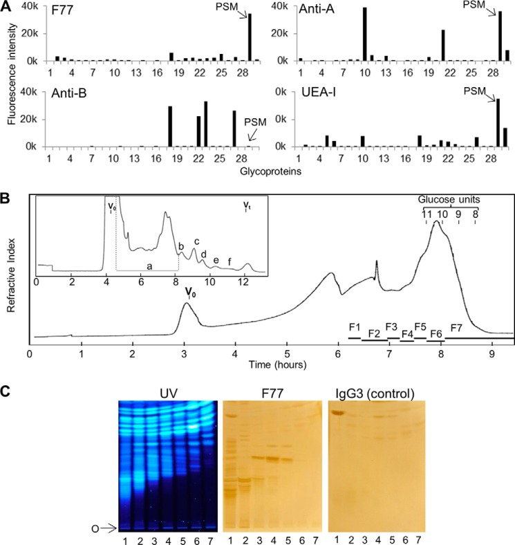 Detection of F77 antigen on PSM and on minor components among O -glycans released from the mucin. A, microarray analyses of mAbs F77, anti-B (89-F), anti-A (T36), and UEA-I lectin with mucin-type glycoproteins. The descriptions of the glycoproteins are in Table 1 . Results are the means of fluorescence intensities of duplicate spots printed at 150 pg of glycoprotein per spot. The error bars represent half of the difference between the two values. B, gel filtration chromatography of the products of reductive alkaline hydrolysis from PSM. Inset is the initial chromatography profile using a Bio-Gel P4 column (1.6 × 90 cm) eluted with H 2 O. The main panel shows the profile of fraction a from the Bio-Gel P4 column, chromatographed using a Bio-Gel P6 column (1.6 × 90 cm) eluted with H 2 O. V 0 is the void volume of the column; V t is the total volume; glucose units 8–11 indicate positions of elution of oligosaccharides with degrees of polymerization 8–11 in an acid hydrolysate of dextran. F1–F7 designate the pooled fractions that were converted to NGLs. C, binding of mAb F77 to NGLs derived from the O -glycans in fractions 1–7. The NGLs derived from the O -glycans in fractions 1–7 were chromatographed on silica gel HPTLC plates, using CHCl 3 /MeOH/H 2 O, 60:35:8 (v/v), as solvent. The fluorescent NGLs were visualized under UV light ( left panel ). The same plate and a duplicate plate were incubated with mAb F77 ( middle panel ) and the isotype IgG3 control, MG3-35 ( right panel ), followed by biotinylated anti-mouse immunoglobulins. Binding was detected as in Fig. 1 . O indicates the origin.