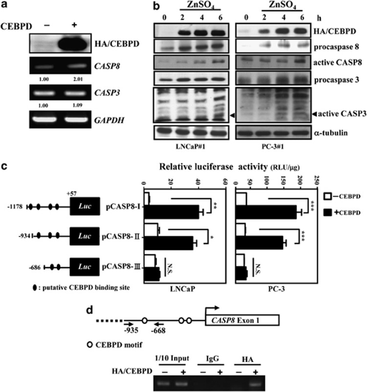 CEBPD activates the transcription of CASP8 but not CASP3 in PrCa cells. ( a ) CEBPD activates the transcription of CASP8 but not CASP3 . An RT-PCR assay was conducted using total RNAs harvested from transfectants with CEBPD or control expression vectors in PC-3 cells. Numbers below the images are the levels normalized to the GAPDH mRNA. ( b ) CEBPD induces the protein levels of procaspase 8 and procaspase 3 and their activations in LNCaP and PC-3 cells. Stable CEBPD-inducible cells were incubated with 100 μ M ZnSO 4 and total lysates were harvested at the indicated time for western blot analysis with the indicated antibodies. ( c ) CEBPD contributes to CASP8 reporter activity. The CASP8 reporters were independently co-transfected with CEBPD expression vectors in LNCaP or PC-3 cells. After 16 h of transfection, the cell lysates were harvested for a luciferase assay. The diagram represents the putative CEBPD-binding sites in the CASP8 promoter region. Columns, the average of three independent measurements in duplicate; bars, mean±S.D. (* P